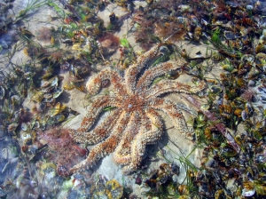 An eleven arm seastar (Coscinasterias muricate) and small mussels (Electroma georgiana) living in swan grass (Zoestera muelleri).
