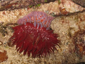 This beautiful sea anemone is known as Phlyctenanthus australis and can be found along Australia's intertidal shoreline that is exposed to ocean waves.