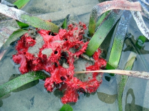 A beautiful and vibrant red sponge growing in the Southern strapweed.