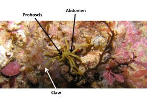 This sea spider's scientific name is Pseudopallene ambigua and was found moving around a subtidal rocky reef inside Port Phillip Heads Marine National Parks, Victoria, Australia.