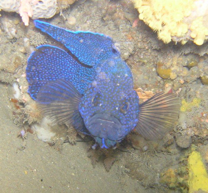 The Southern Blue Devil on the defensive mode due to my blue rimmed SCUBA mask coming across as a potential competitor.